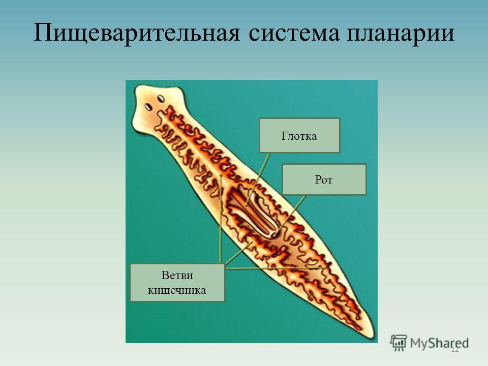 Пищеварительная система планарии 12 Глотка Рот Ветви кишечника