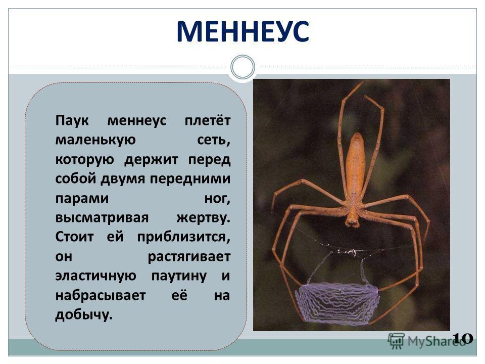 МЕННЕУС 10 Паук меннеус плетёт маленькую сеть, которую держит перед собой двумя передними парами ног, высматривая жертву. Стоит ей приблизится, он растягивает эластичную паутину и набрасывает её на добычу.