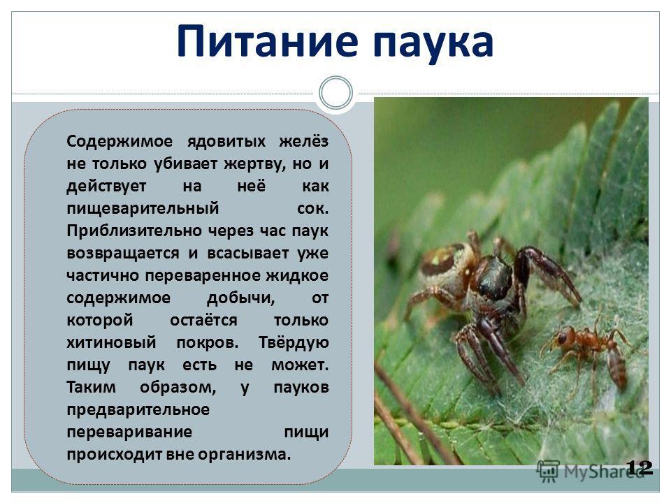 Питание паука 12 Содержимое ядовитых желёз не только убивает жертву, но и действует на неё как пищеварительный сок. Приблизительно через час паук возвращается и всасывает уже частично переваренное жидкое содержимое добычи, от которой остаётся только