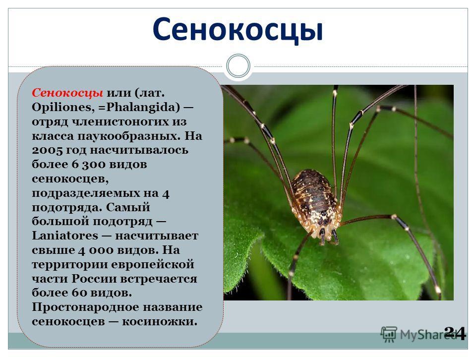 Сенокосцы Сенокосцы или (лат. Opiliones, =Phalangida) отряд членистоногих из класса паукообразных. На 2005 год насчитывалось более 6 300 видов сенокосцев, подразделяемых на 4 подотряда. Самый большой подотряд Laniatores насчитывает свыше 4 000 видов.