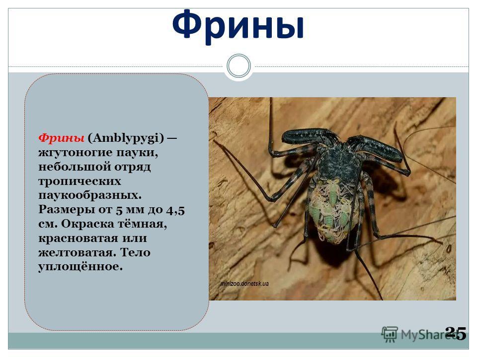 Фрины 25 Фрины (Amblypygi) жгутоногие пауки, небольшой отряд тропических паукообразных. Размеры от 5 мм до 4,5 см. Окраска тёмная, красноватая или желтоватая. Тело уплощённое.