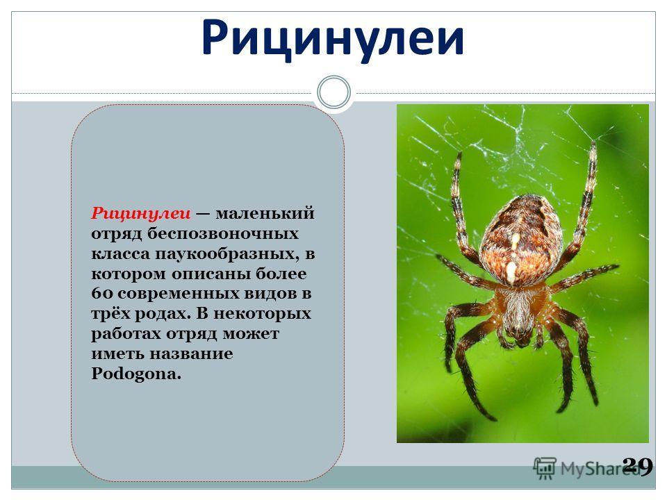 Рицинулеи 29 Рицинулеи маленький отряд беспозвоночных класса паукообразных, в котором описаны более 60 современных видов в трёх родах. В некоторых работах отряд может иметь название Podogona.