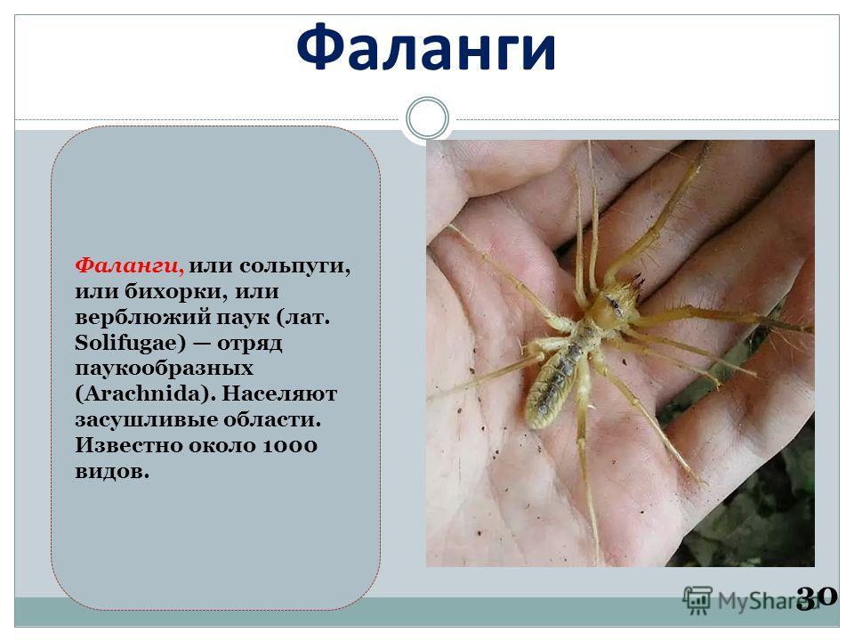 Фаланги 30 Фаланги, или сольпуги, или бихорки, или верблюжий паук (лат. Solifugae) отряд паукообразных (Arachnida). Населяют засушливые области. Известно около 1000 видов.