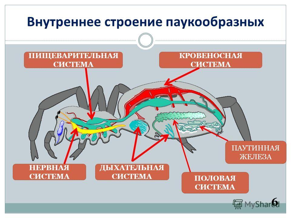Внутреннее строение паукообразных 6 ПИЩЕВАРИТЕЛЬНАЯ СИСТЕМА КРОВЕНОСНАЯ СИСТЕМА НЕРВНАЯ СИСТЕМА ДЫХАТЕЛЬНАЯ СИСТЕМА ПАУТИННАЯ ЖЕЛЕЗА ПОЛОВАЯ СИСТЕМА