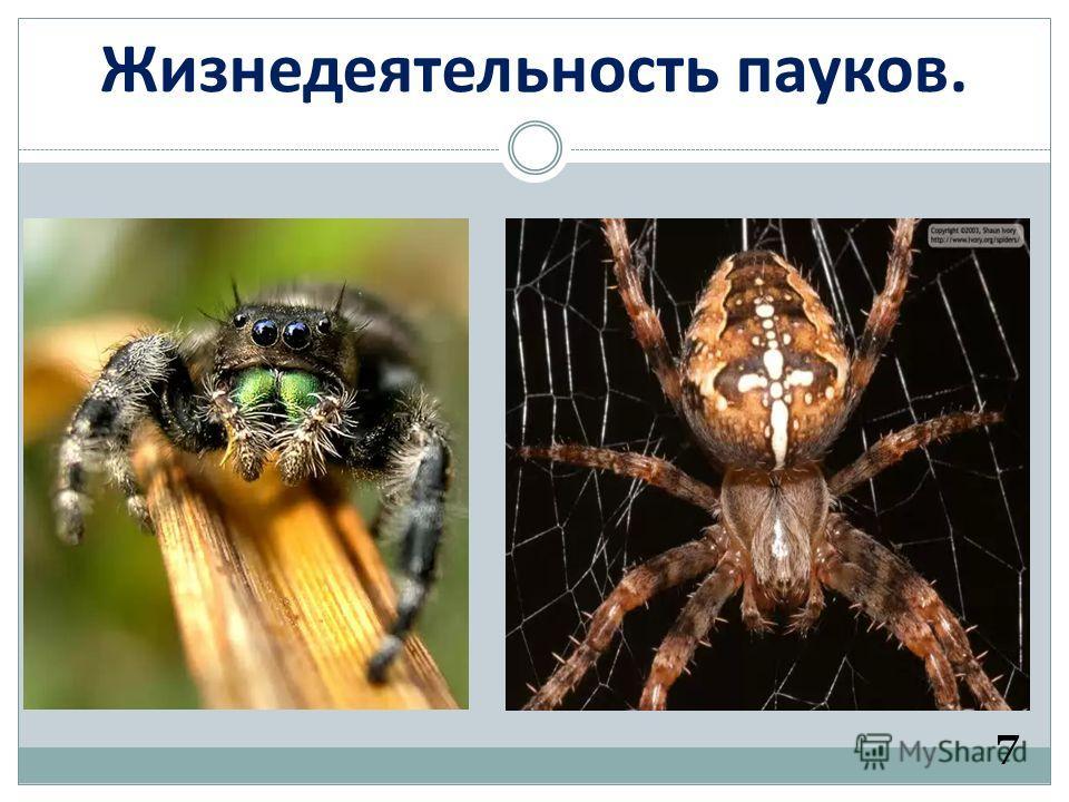 Жизнедеятельность пауков. 7