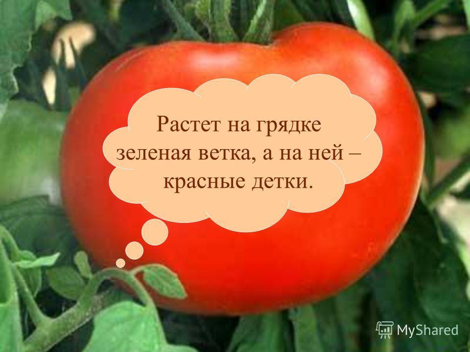 Растет на грядке зеленая ветка, а на ней – красные детки.