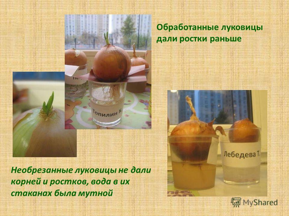 Обработанные луковицы дали ростки раньше Необрезанные луковицы не дали корней и ростков, вода в их стаканах была мутной