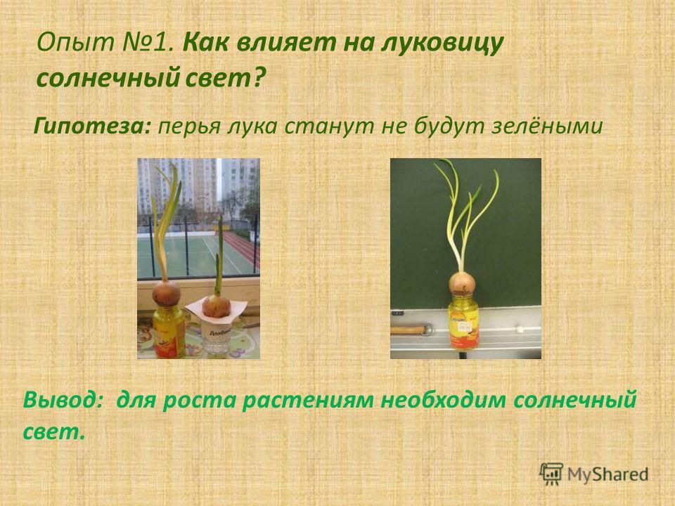 Опыт 1. Как влияет на луковицу солнечный свет? Гипотеза: перья лука станут не будут зелёными Вывод: для роста растениям необходим солнечный свет.