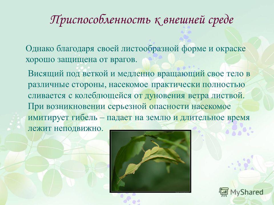 Приспособленность к внешней среде Висящий под веткой и медленно вращающий свое тело в различные стороны, насекомое практически полностью сливается с колеблющейся от дуновения ветра листвой. При возникновении серьезной опасности насекомое имитирует ги