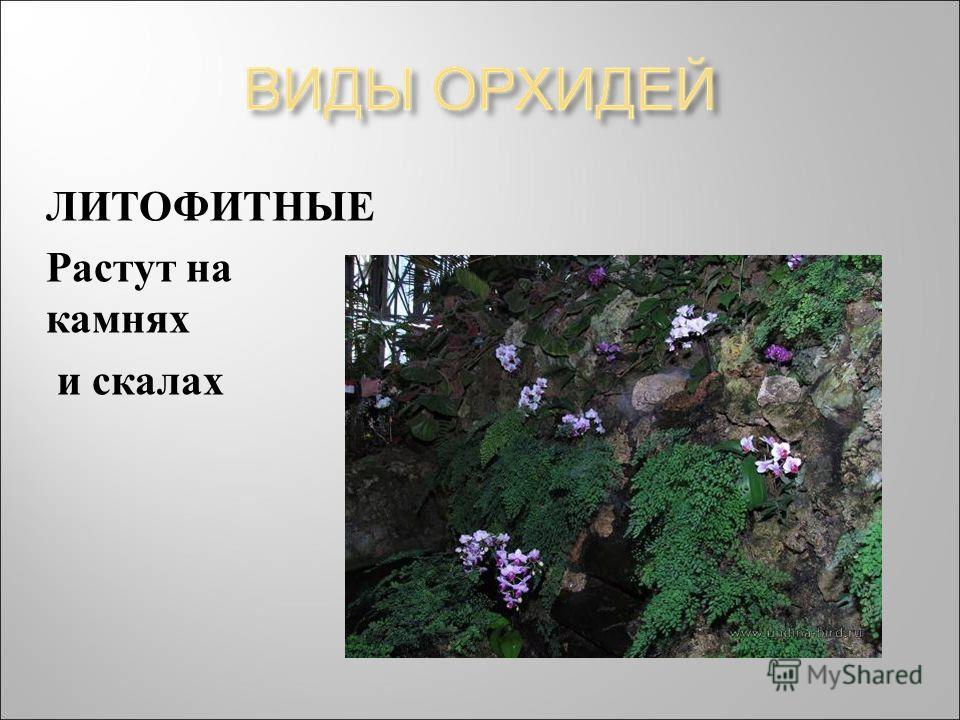 ЛИТОФИТНЫЕ Растут на камнях и скалах