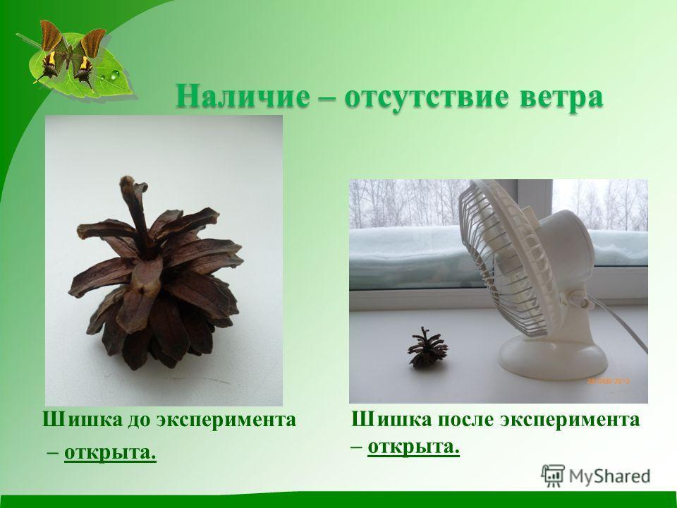 Наличие – отсутствие ветра Наличие – отсутствие ветра Шишка до эксперимента – открыта. Шишка после эксперимента – открыта.
