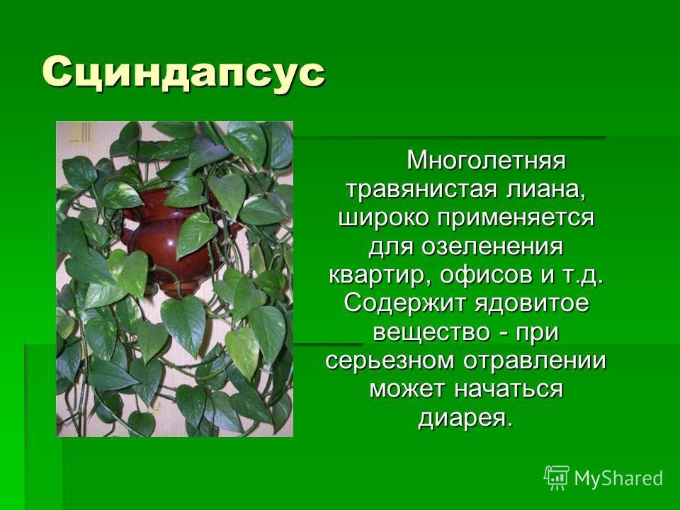 Сциндапсус Многолетняя травянистая лиана, широко применяется для озеленения квартир, офисов и т.д. Содержит ядовитое вещество - при серьезном отравлении может начаться диарея. Многолетняя травянистая лиана, широко применяется для озеленения квартир,