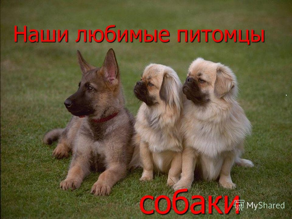 Наши любимые питомцы собаки