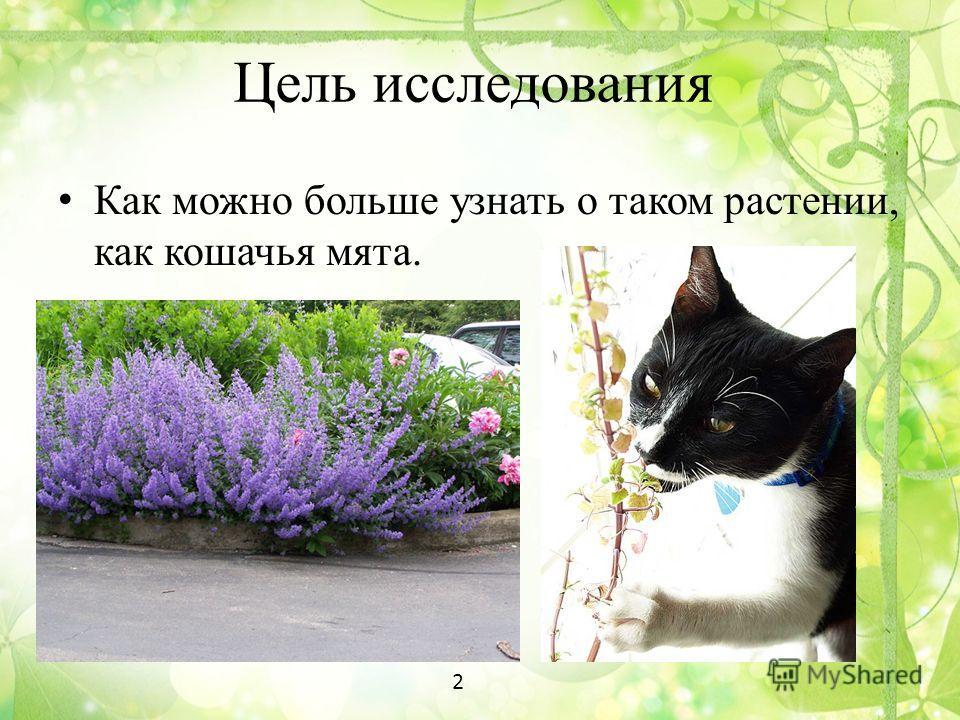 Цель исследования Как можно больше узнать о таком растении, как кошачья мята. 2
