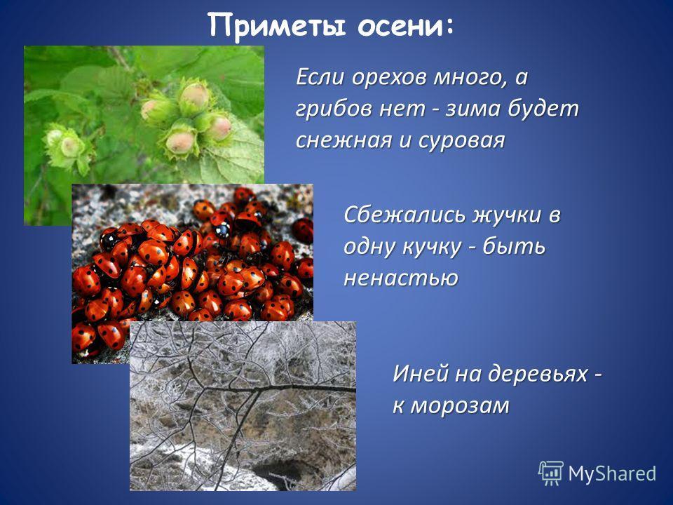 Приметы осени: Если орехов много, а грибов нет - зима будет снежная и суровая Сбежались жучки в одну кучку - быть ненастью Иней на деревьях - к морозам