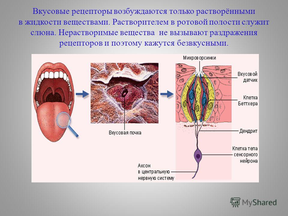 Вкусовые рецепторы возбуждаются только растворёнными в жидкости веществами. Растворителем в ротовой полости служит слюна. Нерастворимые вещества не вызывают раздражения рецепторов и поэтому кажутся безвкусными.