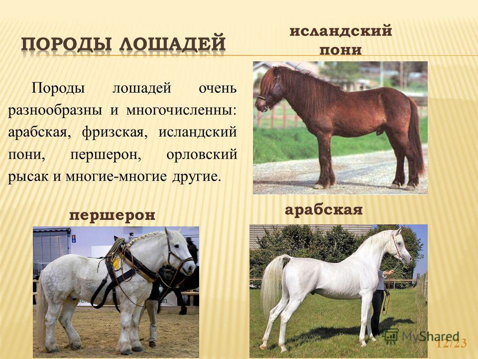 першерон арабская исландский пони 12/23 Породы лошадей очень разнообразны и многочисленны: арабская, фризская, исландский пони, першерон, орловский рысак и многие-многие другие.