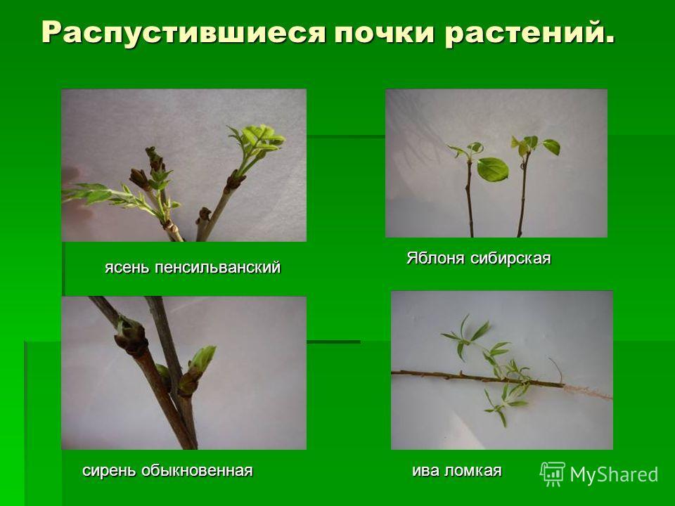 Распустившиеся почки растений. ясень пенсильванский Яблоня сибирская сирень обыкновенная ива ломкая
