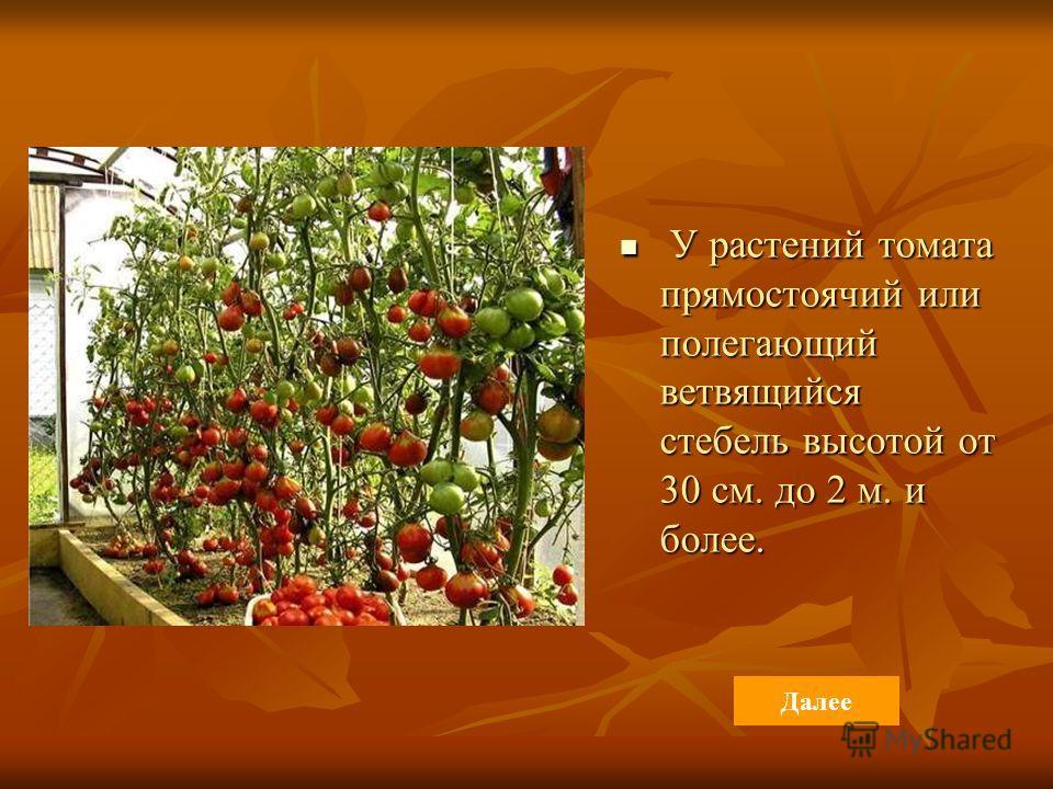 У растений томата прямостоячий или полегающий ветвящийся стебель высотой от 30 см. до 2 м. и более. У растений томата прямостоячий или полегающий ветвящийся стебель высотой от 30 см. до 2 м. и более. Далее