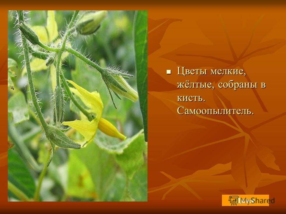 Цветы мелкие, жёлтые, собраны в кисть. Самоопылитель. Цветы мелкие, жёлтые, собраны в кисть. Самоопылитель. Далее