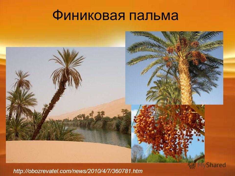 Финиковая пальма http://obozrevatel.com/news/2010/4/7/360781.htm