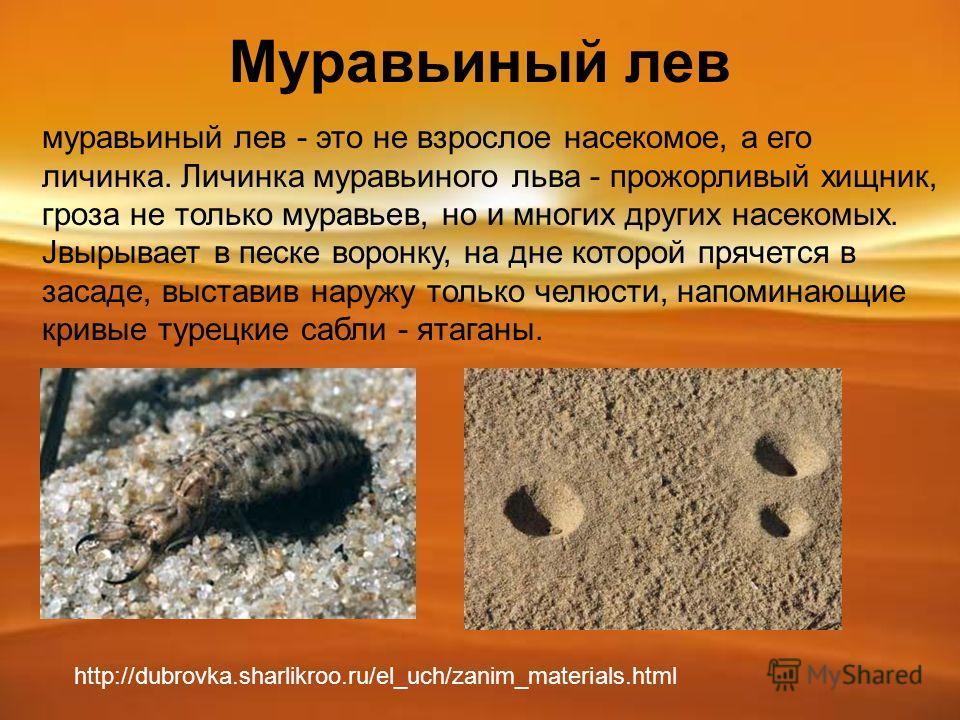 Муравьиный лев муравьиный лев - это не взрослое насекомое, а его личинка. Личинка муравьиного льва - прожорливый хищник, гроза не только муравьев, но и многих других насекомых. Jвырывает в песке воронку, на дне которой прячется в засаде, выставив нар