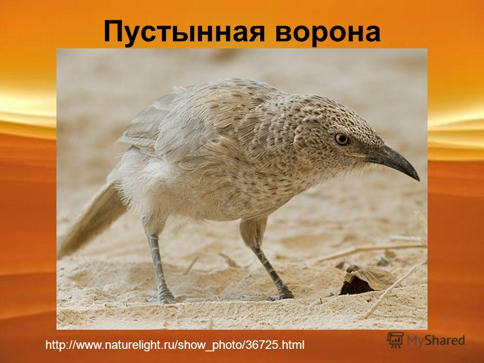 Пустынная ворона http://www.naturelight.ru/show_photo/36725.html
