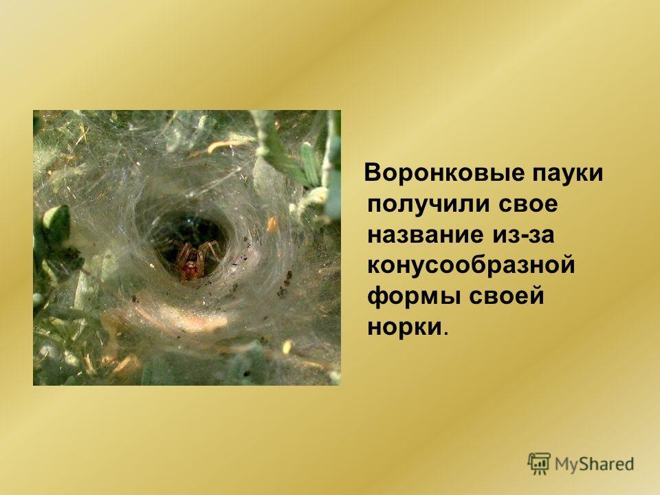 Воронковые пауки получили свое название из-за конусообразной формы своей норки.