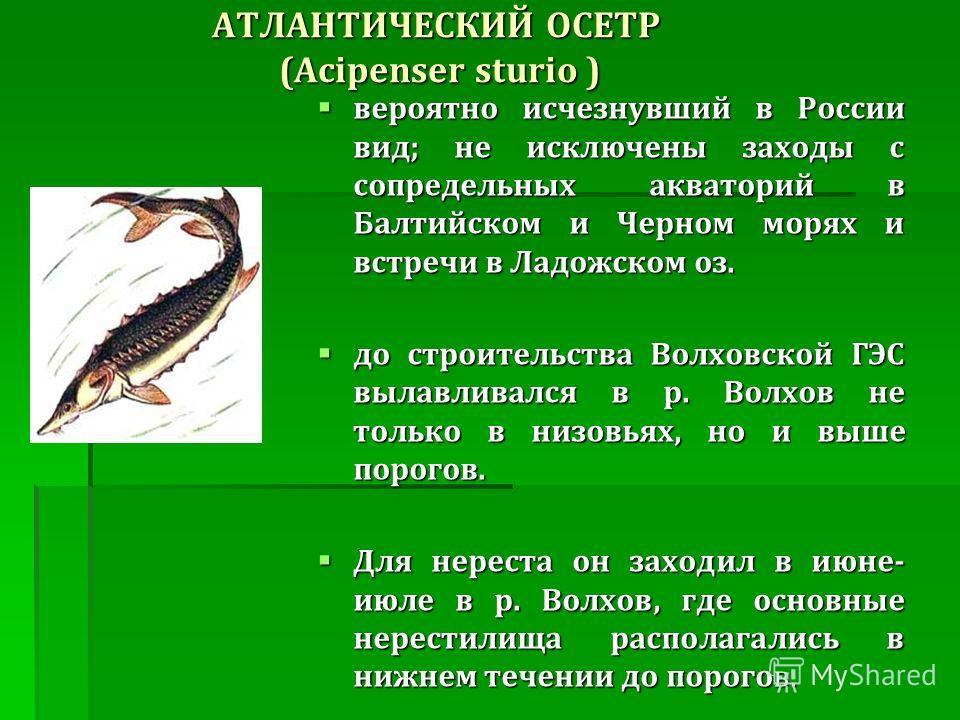 АТЛАНТИЧЕСКИЙ ОСЕТР (Acipenser sturio ) вероятно исчезнувший в России вид ; не исключены заходы с сопредельных акваторий в Балтийском и Черном морях и встречи в Ладожском оз. вероятно исчезнувший в России вид ; не исключены заходы с сопредельных аква