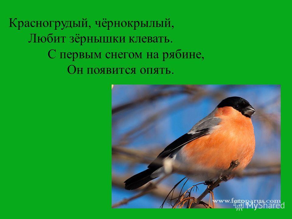 Красногрудый, чёрнокрылый, Любит зёрнышки клевать. С первым снегом на рябине, Он появится опять.