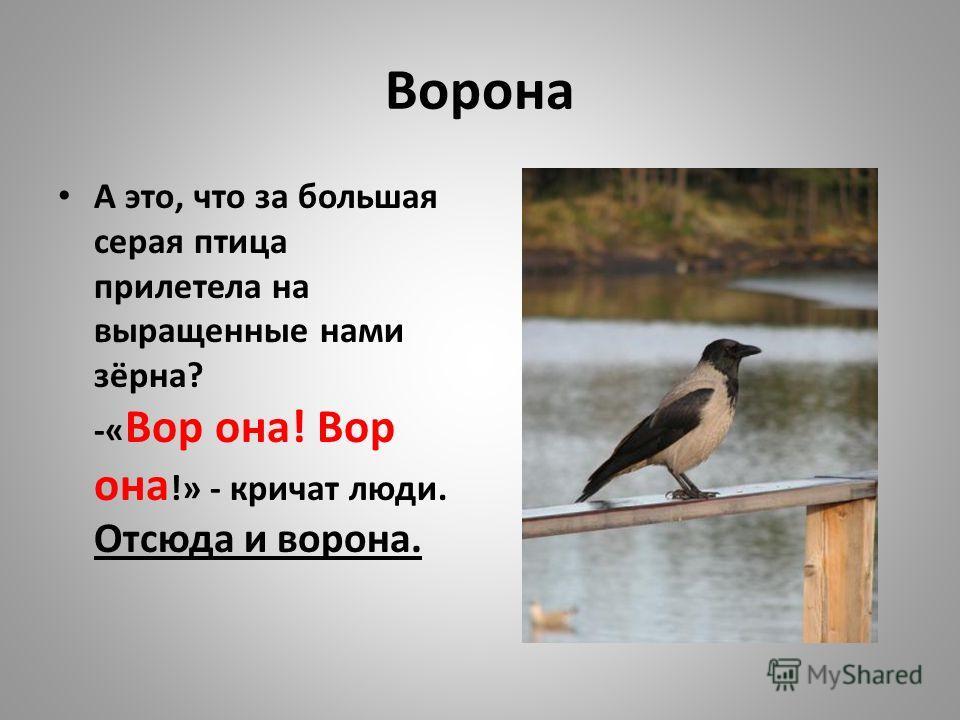 Ворона А это, что за большая серая птица прилетела на выращенные нами зёрна? -« Вор она! Вор она !» - кричат люди. Отсюда и ворона.