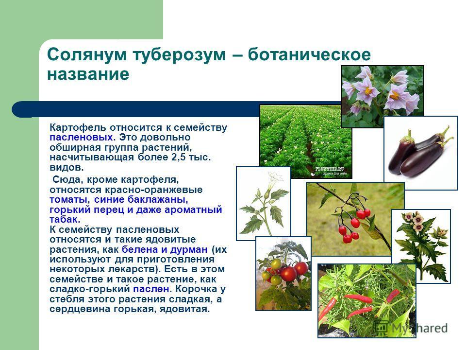 Солянум туберозум – ботаническое название Картофель относится к семейству пасленовых. Это довольно обширная группа растений, насчитывающая более 2,5 тыс. видов. Сюда, кроме картофеля, относятся красно-оранжевые томаты, синие баклажаны, горький перец