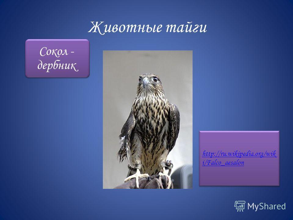 Животные тайги Сокол - дербник http://ru.wikipedia.org/wik i/Falco_aesalon http://ru.wikipedia.org/wik i/Falco_aesalon