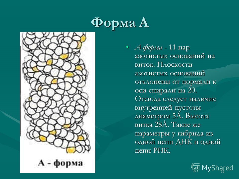 11 Форма А А-форма - 11 пар азотистых оснований на виток. Плоскости азотистых оснований отклонены от нормали к оси спирали на 20. Отсюда следует наличие внутренней пустоты диаметром 5Å. Высота витка 28Å. Такие же параметры у гибрида из одной цепи ДНК