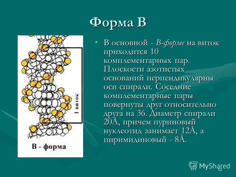 12 Форма В В основной - В-форме на виток приходится 10 комплементарных пар. Плоскости азотистых оснований перпендикулярны оси спирали. Соседние комплементарные пары повернуты друг относительно друга на 36. Диаметр спирали 20Å, причем пуриновый нуклео