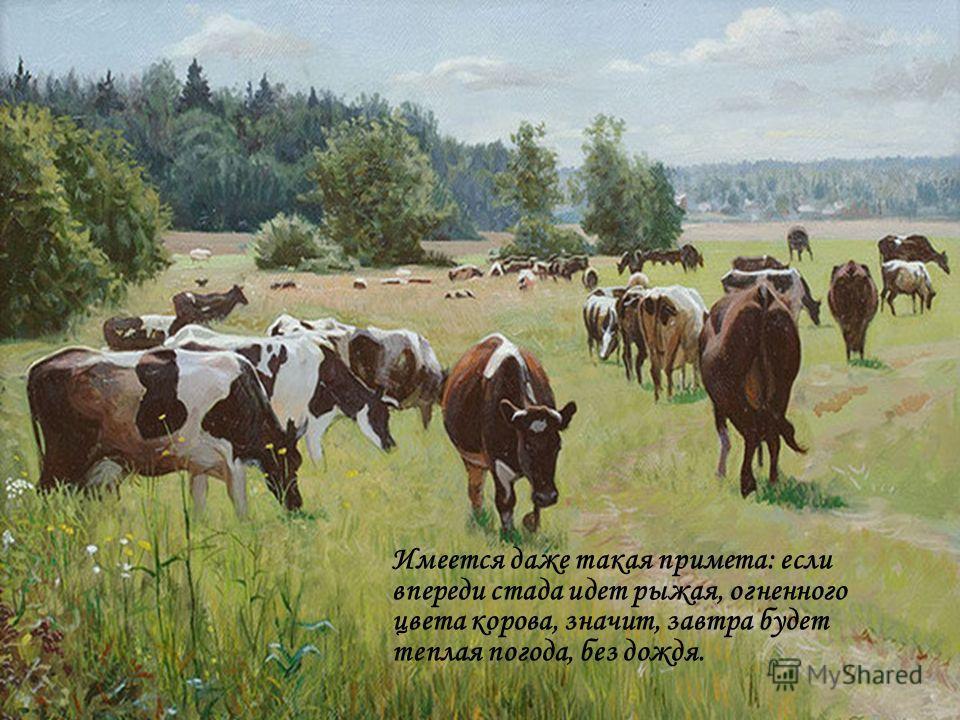 Имеется даже такая примета: если впереди стада идет рыжая, огненного цвета корова, значит, завтра будет теплая погода, без дождя.
