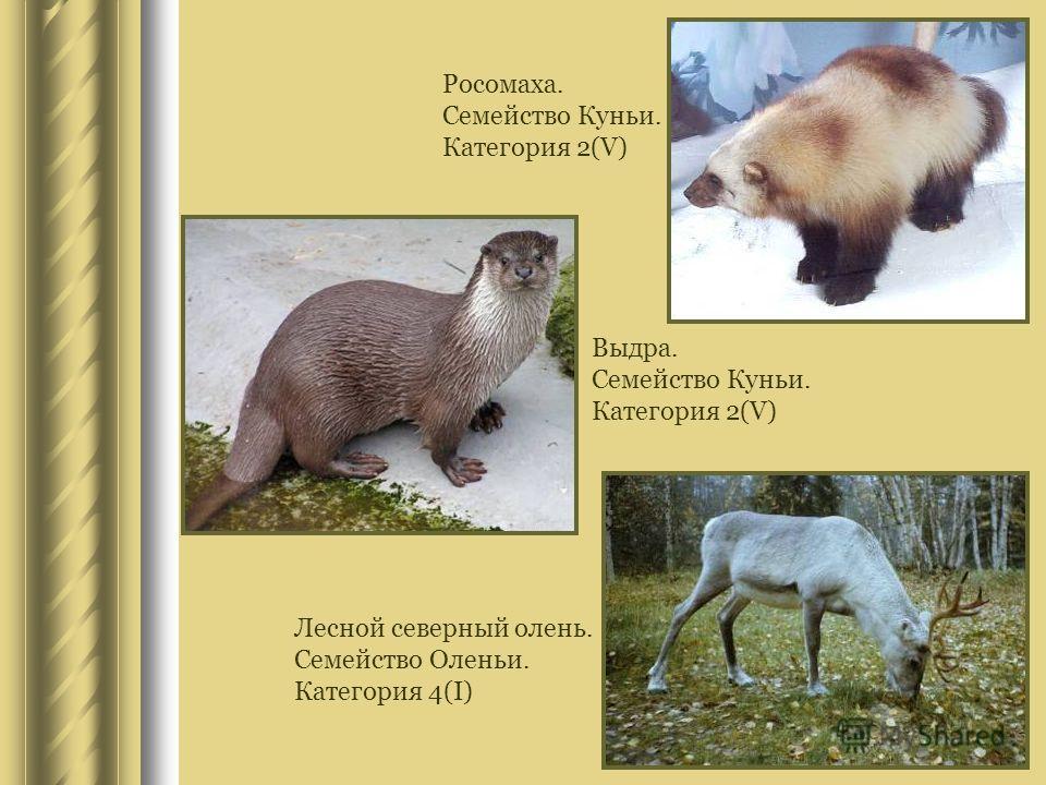 Росомаха. Семейство Куньи. Категория 2(V) Выдра. Семейство Куньи. Категория 2(V) Лесной северный олень. Семейство Оленьи. Категория 4(I)