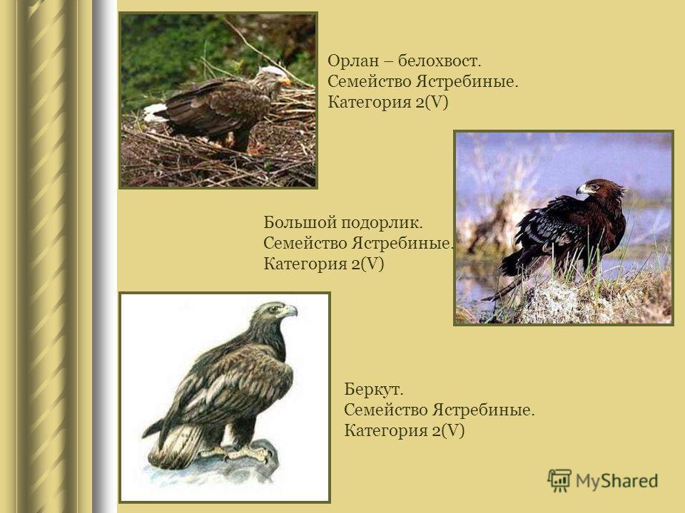 Орлан – белохвост. Семейство Ястребиные. Категория 2(V) Большой подорлик. Семейство Ястребиные. Категория 2(V) Беркут. Семейство Ястребиные. Категория 2(V)