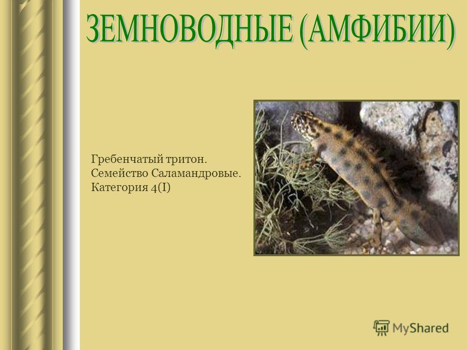 Гребенчатый тритон. Семейство Саламандровые. Категория 4(I)