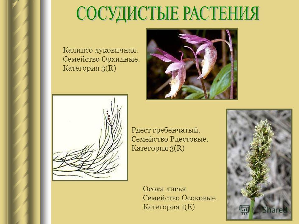 Калипсо луковичная. Семейство Орхидные. Категория 3(R) Рдест гребенчатый. Семейство Рдестовые. Категория 3(R) Осока лисья. Семейство Осоковые. Категория 1(E)
