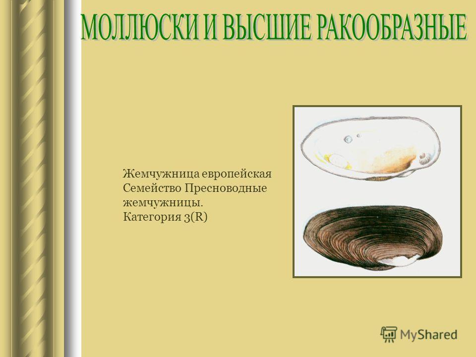 Жемчужница европейская Семейство Пресноводные жемчужницы. Категория 3(R)