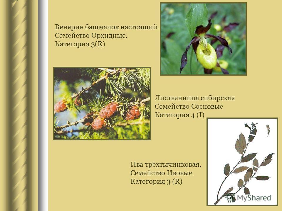 Венерин башмачок настоящий. Семейство Орхидные. Категория 3(R) Лиственница сибирская Семейство Сосновые Категория 4 (I) Ива трёхтычинковая. Семейство Ивовые. Категория 3 (R)