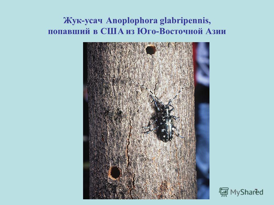 7 Жук-усач Anoplophora glabripennis, попавший в США из Юго-Восточной Азии