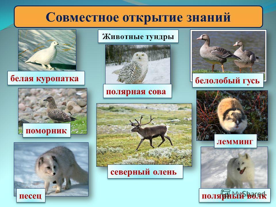 Совместное открытие знаний Животные тундры белая куропатка лемминг полярная сова полярный волк песец северный олень белолобый гусь поморник