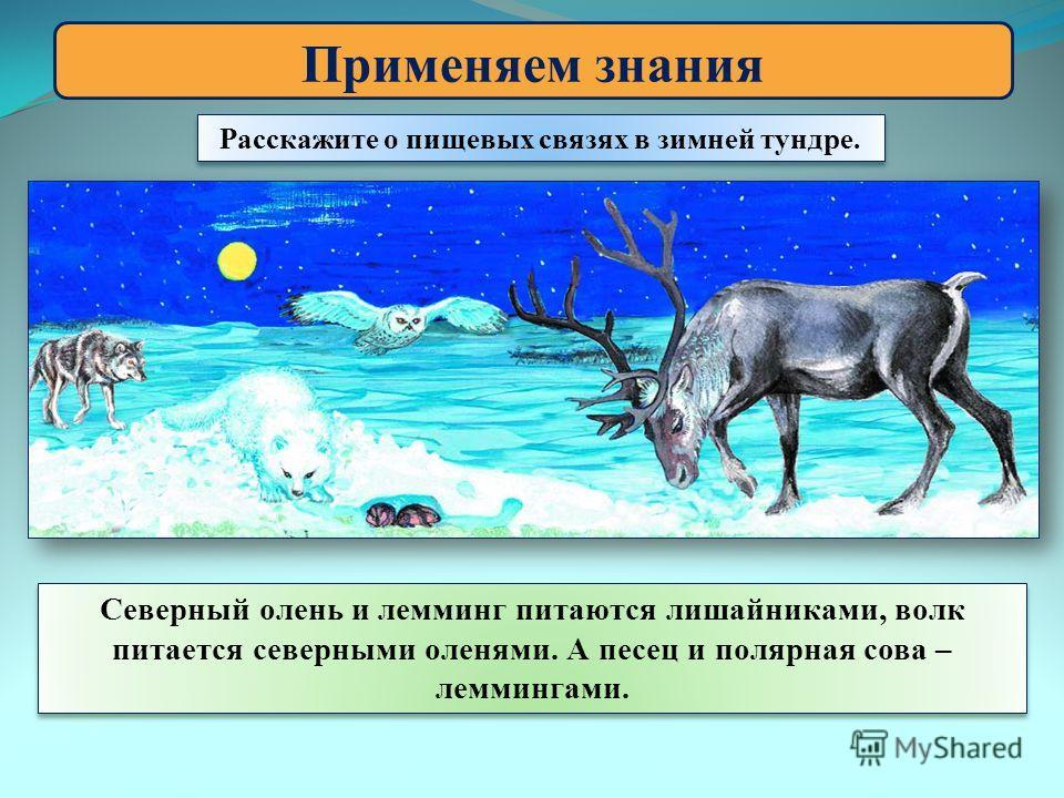 Применяем знания Расскажите о пищевых связях в зимней тундре. Северный олень и лемминг питаются лишайниками, волк питается северными оленями. А песец и полярная сова – леммингами.