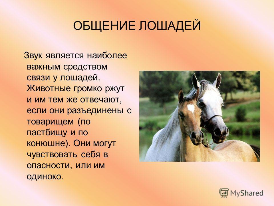 ОБЩЕНИЕ ЛОШАДЕЙ Звук является наиболее важным средством связи у лошадей. Животные громко ржут и им тем же отвечают, если они разъединены с товарищем (по пастбищу и по конюшне). Они могут чувствовать себя в опасности, или им одиноко.