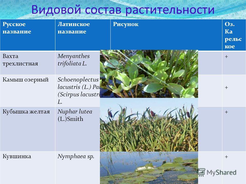 Видовой состав растительности Русское название Латинское название РисунокОз. Ка рельс кое Вахта трехлистная Menyanthes trifoliata L. + Камыш озерныйSchoenoplectus lacustris (L.) Palla (Scirpus lacustris L. + Кубышка желтаяNuphar lutea (L.)Smith + Кув