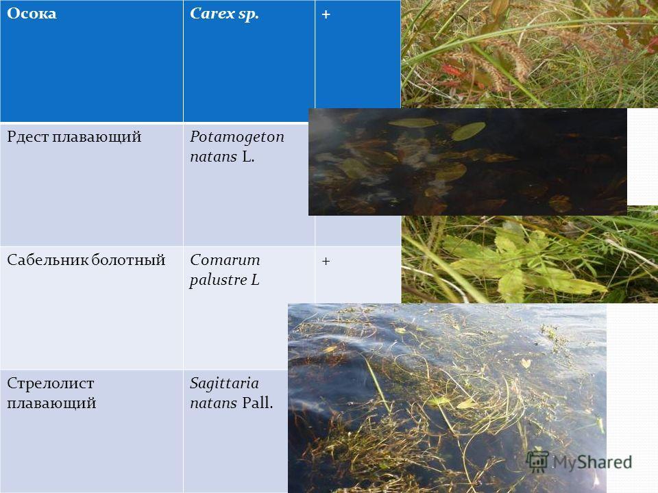 ОсокаCаrex sp.+ Рдест плавающийPotamogeton natans L. + Сабельник болотныйСomarum palustre L + Стрелолист плавающий Sagittaria natans Pall. +