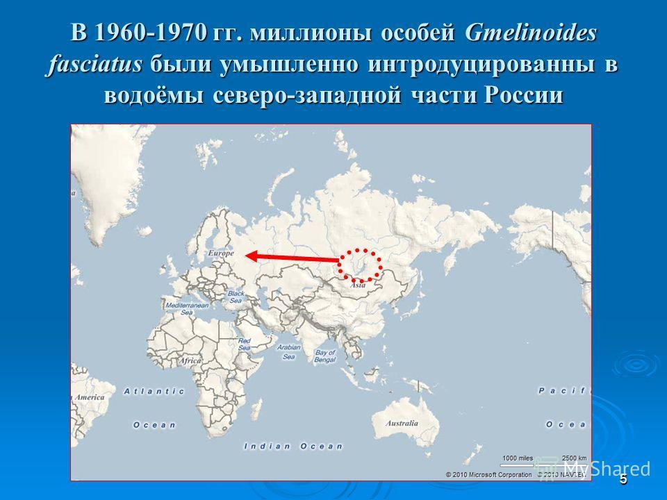 55 В 1960-1970 гг. миллионы особей Gmelinoides fasciatus были умышленно интродуцированны в водоёмы северо-западной части России