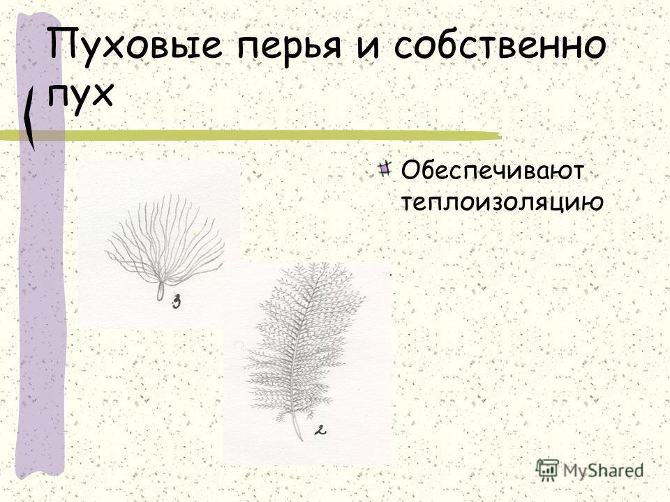 Пуховые перья и собственно пух Обеспечивают теплоизоляцию